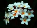 Plumeria04Epic-PaintCrop